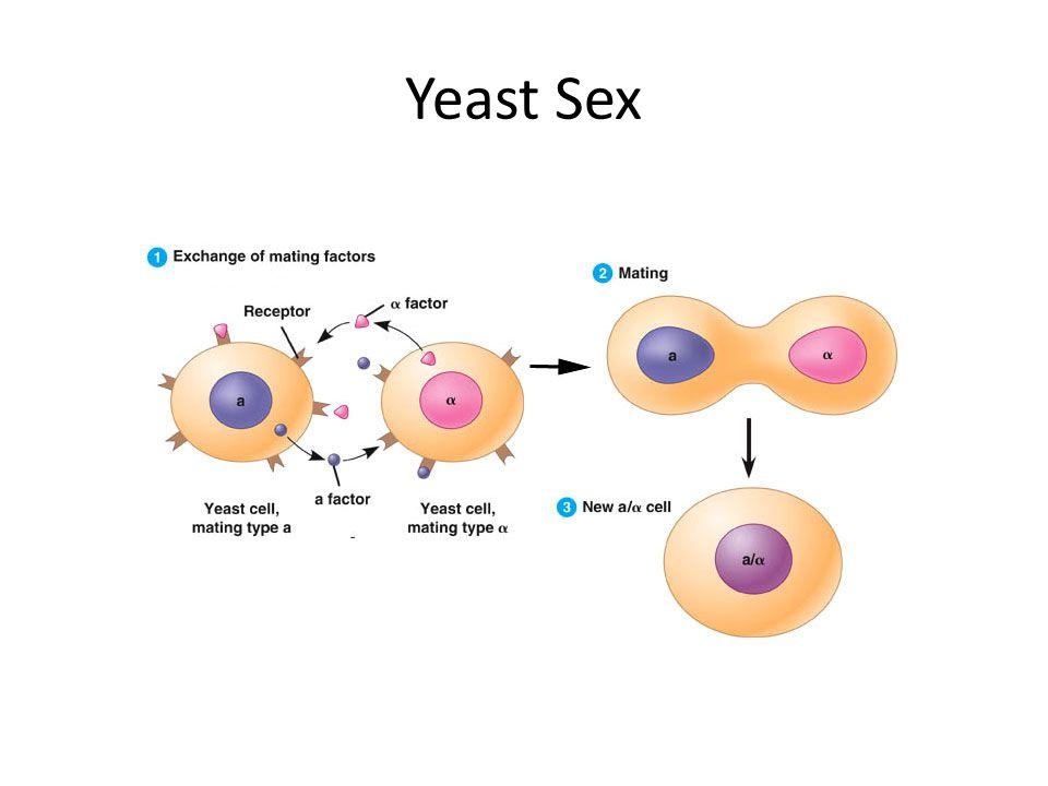Yeast Sex