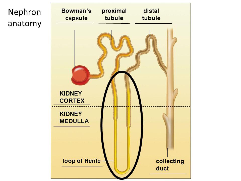 Bowman's capsule proximal tubule distal tubule KIDNEY CORTEX KIDNEY MEDULLA loop of Henle collecting duct Nephron anatomy