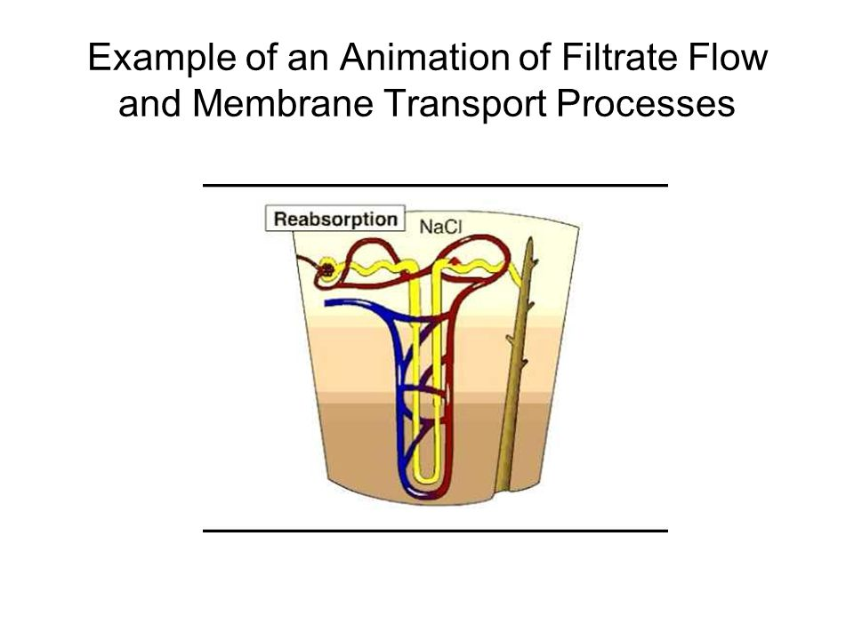 Example of an Animation of Filtrate Flow and Membrane Transport Processes