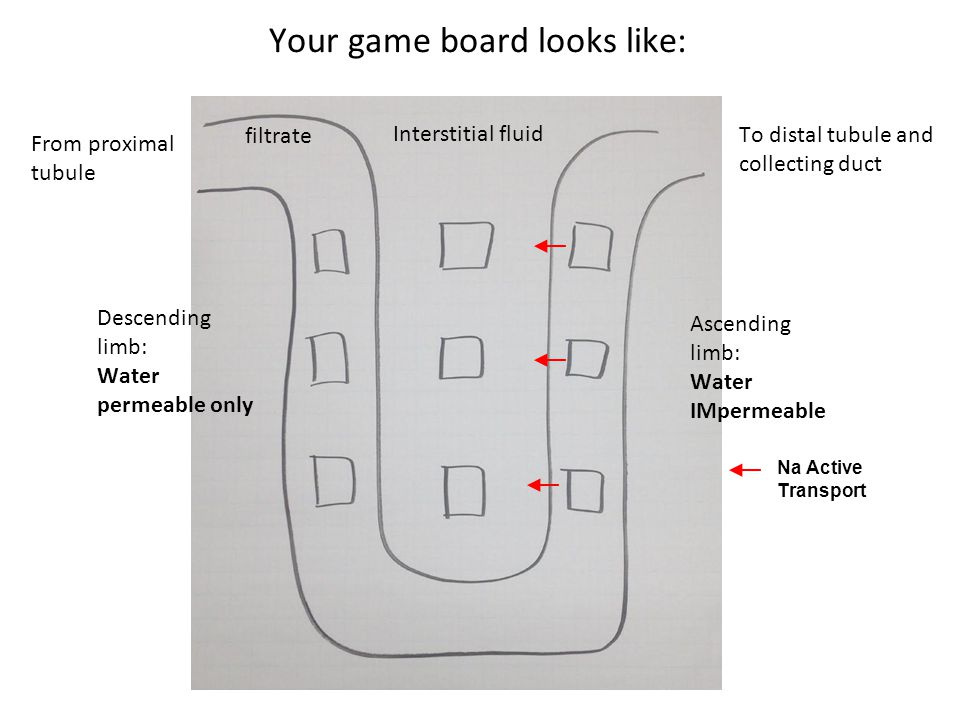 From proximal tubule To distal tubule and collecting duct filtrate Interstitial fluid Descending limb: Water permeable only Ascending limb: Water IMpermeable Your game board looks like: Na Active Transport