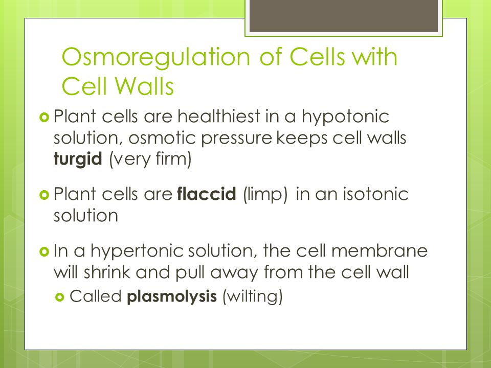 Osmoregulation of Cells with Cell Walls  Plant cells are healthiest in a hypotonic solution, osmotic pressure keeps cell walls turgid (very firm)  Plant cells are flaccid (limp) in an isotonic solution  In a hypertonic solution, the cell membrane will shrink and pull away from the cell wall  Called plasmolysis (wilting)
