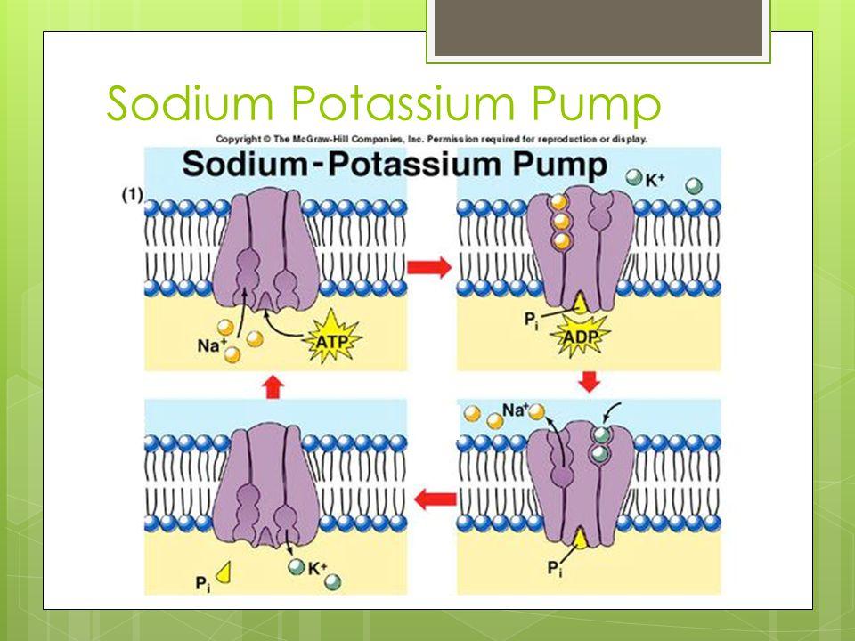 Sodium Potassium Pump