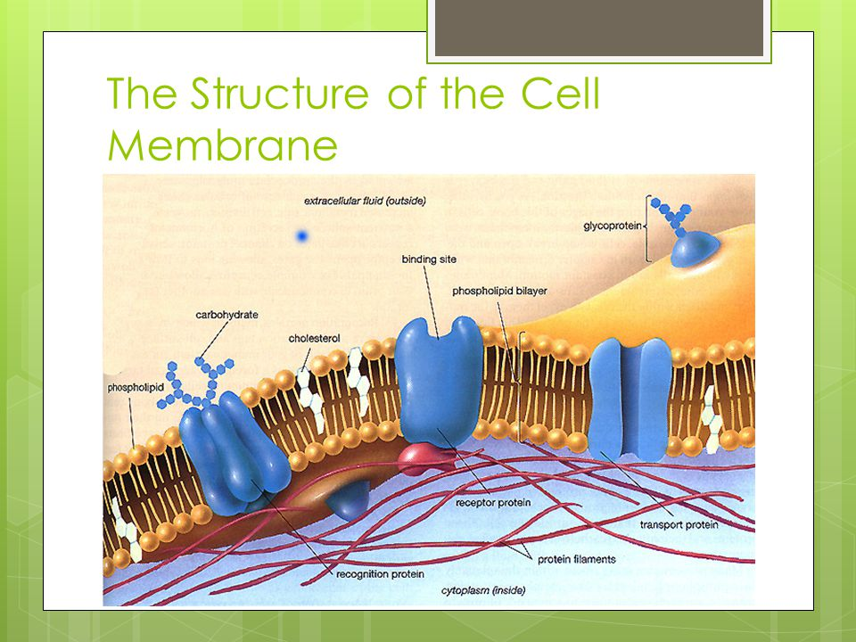 Membrane Proteins  Different types of cells contain different types of membrane proteins  Integral proteins – embedded into the hydrophobic core of the lipid bilayer  Can go all the way through the membrane  Peripheral proteins – on the surface of the membrane