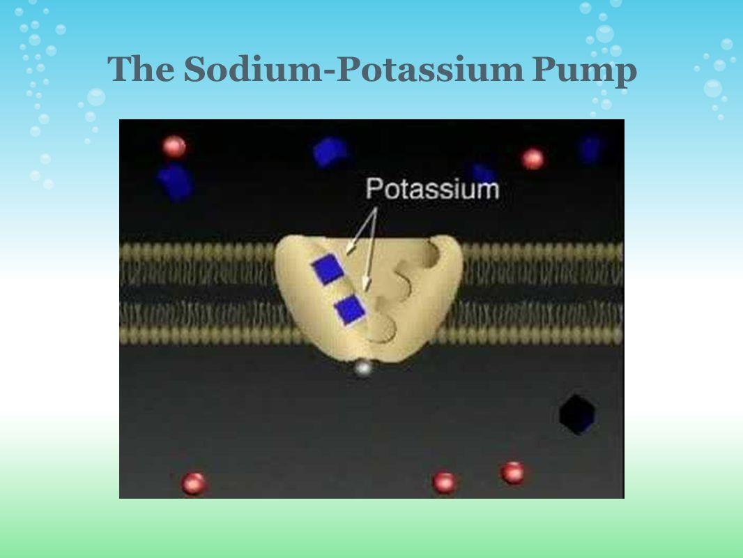 The Sodium-Potassium Pump