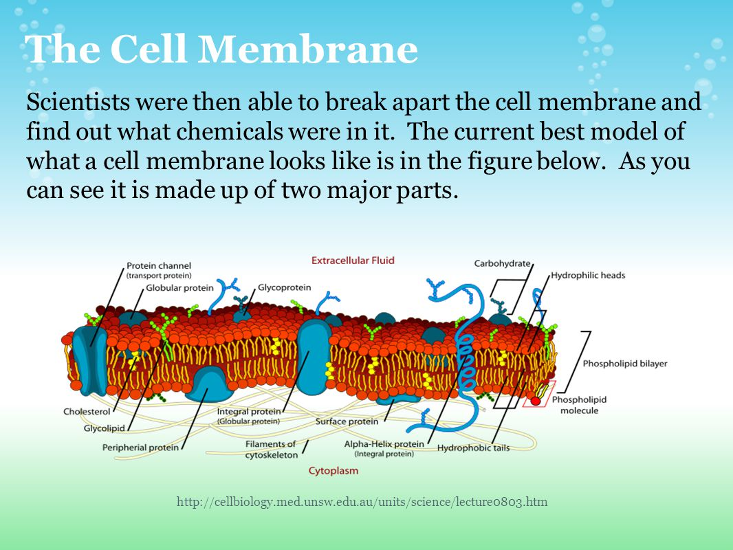 The Cell Membrane Scientists were then able to break apart the cell membrane and find out what chemicals were in it. The current best model of what a