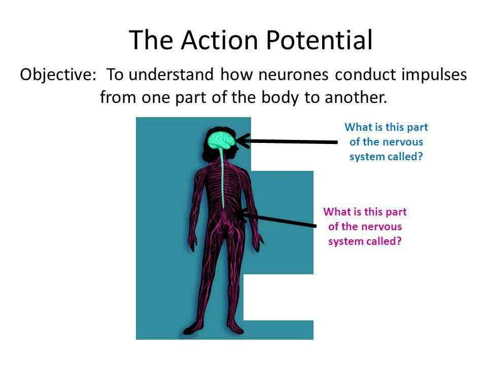 Speed of Nerve Impulses Impulses travel very rapidly along neurones.