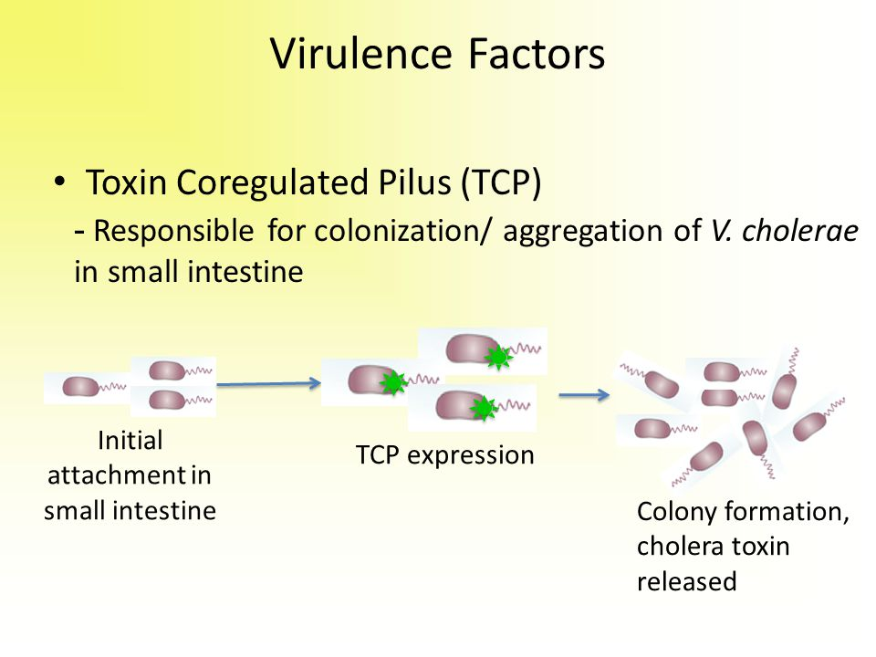 Virulence Factors Toxin Coregulated Pilus (TCP) Initial attachment in small intestine TCP expression Colony formation, cholera toxin released - Respon