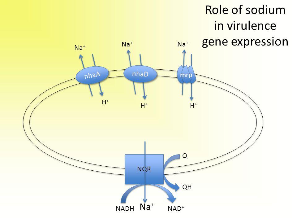 Na + H+H+ H+H+ H+H+ nhaA nhaD Na + NADHNAD + NQR Q QH Role of sodium in virulence gene expression mrp