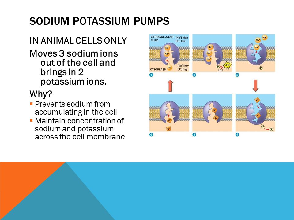 IN ANIMAL CELLS ONLY Moves 3 sodium ions out of the cell and brings in 2 potassium ions.