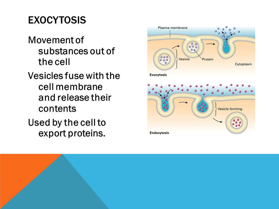 Movement of substances out of the cell Vesicles fuse with the cell membrane and release their contents Used by the cell to export proteins.