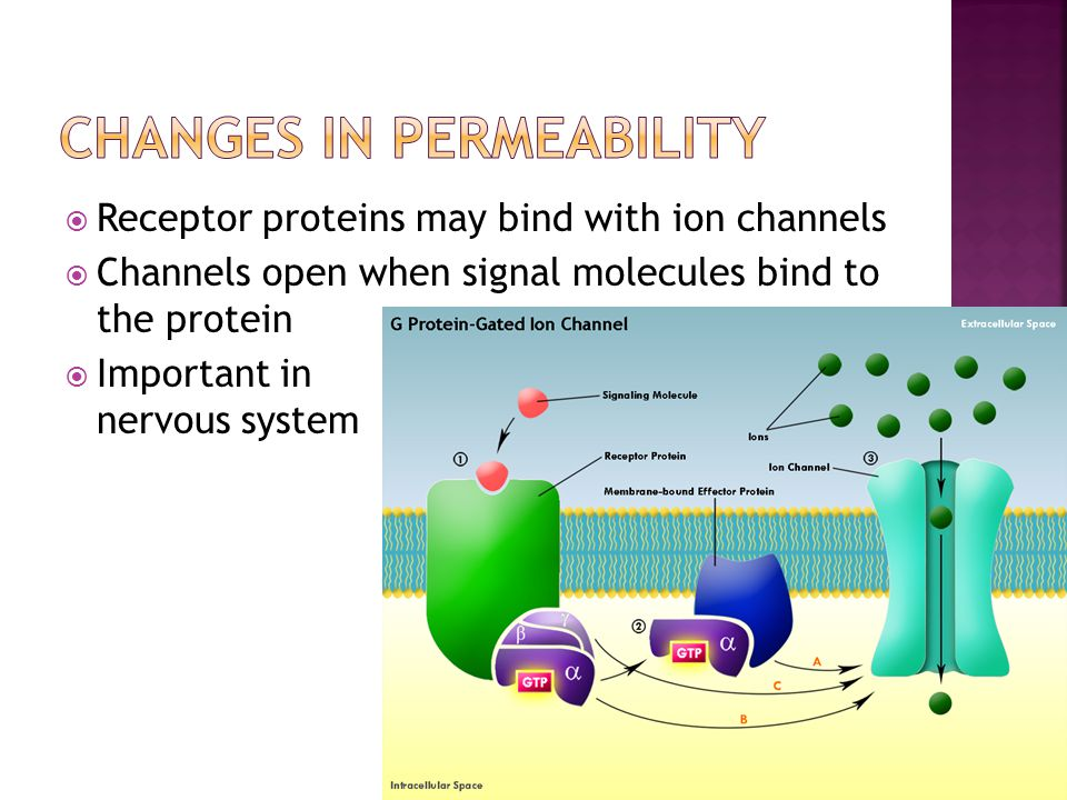  Receptor proteins may bind with ion channels  Channels open when signal molecules bind to the protein  Important in nervous system