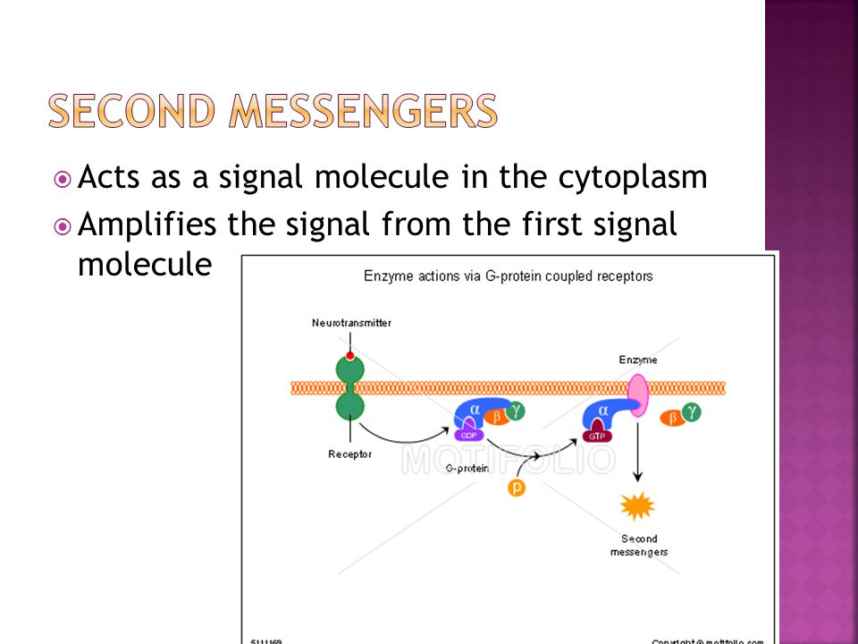  Acts as a signal molecule in the cytoplasm  Amplifies the signal from the first signal molecule