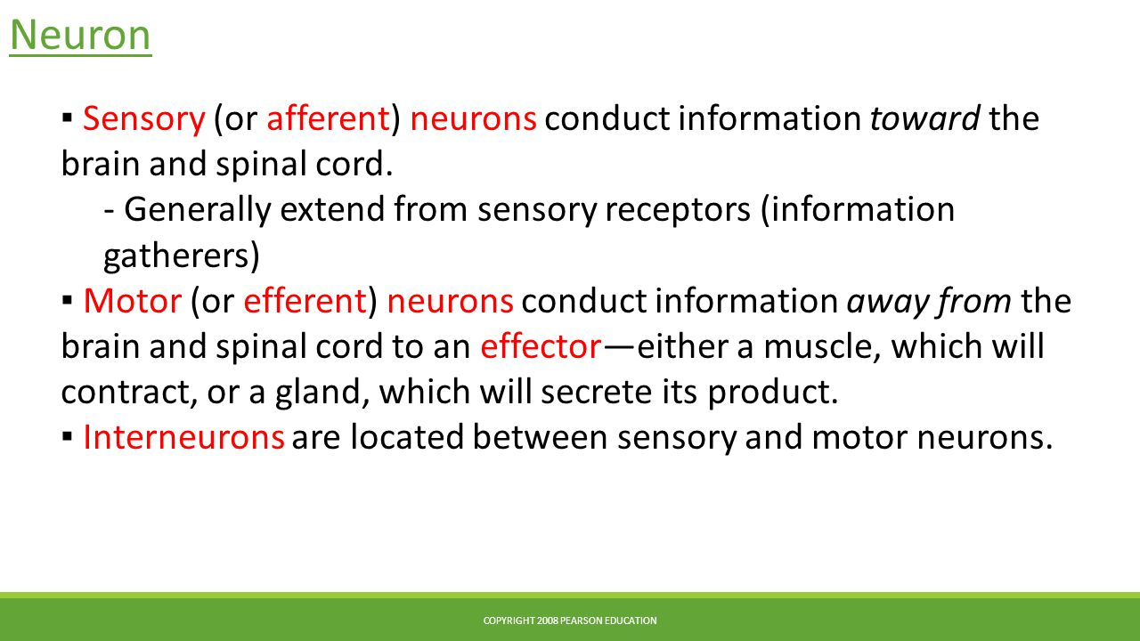 Neuron ▪ Sensory (or afferent) neurons conduct information toward the brain and spinal cord. - Generally extend from sensory receptors (information ga