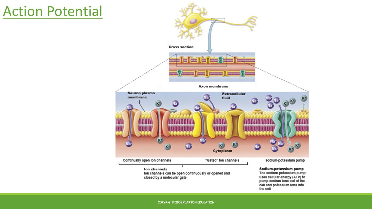 Action Potential COPYRIGHT 2008 PEARSON EDUCATION