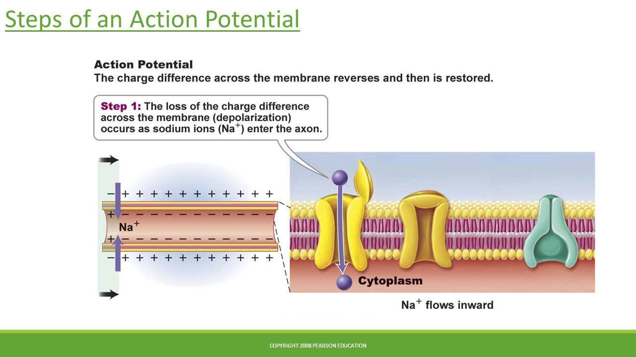 Steps of an Action Potential COPYRIGHT 2008 PEARSON EDUCATION