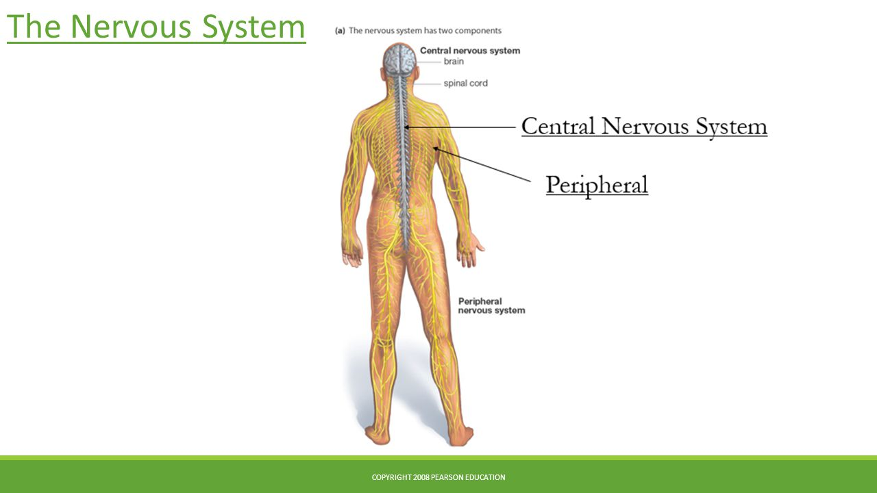 The Nervous System COPYRIGHT 2008 PEARSON EDUCATION