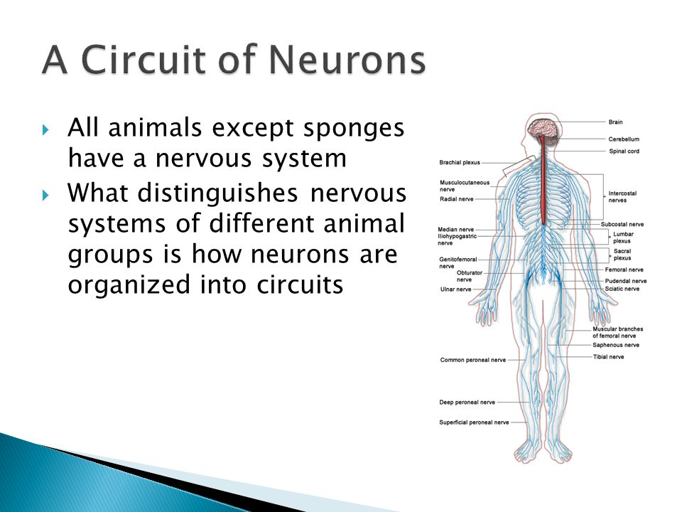  All animals except sponges have a nervous system  What distinguishes nervous systems of different animal groups is how neurons are organized into circuits