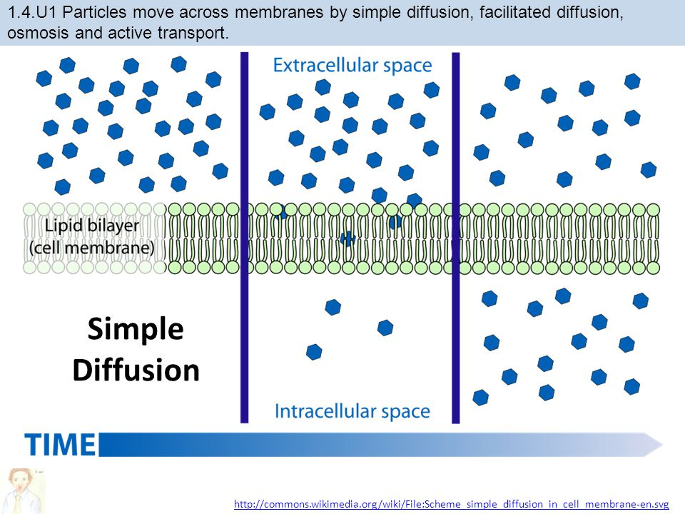 Simple Diffusion http://commons.wikimedia.org/wiki/File:Scheme_simple_diffusion_in_cell_membrane-en.svg 1.4.U1 Particles move across membranes by simp