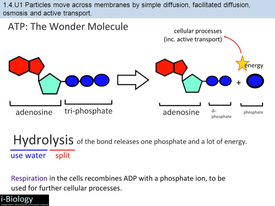 1.4.U1 Particles move across membranes by simple diffusion, facilitated diffusion, osmosis and active transport.