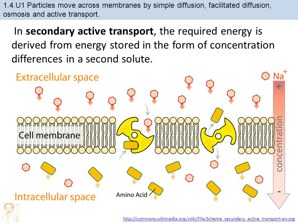 http://commons.wikimedia.org/wiki/File:Scheme_secundary_active_transport-en.svg In secondary active transport, the required energy is derived from energy stored in the form of concentration differences in a second solute.