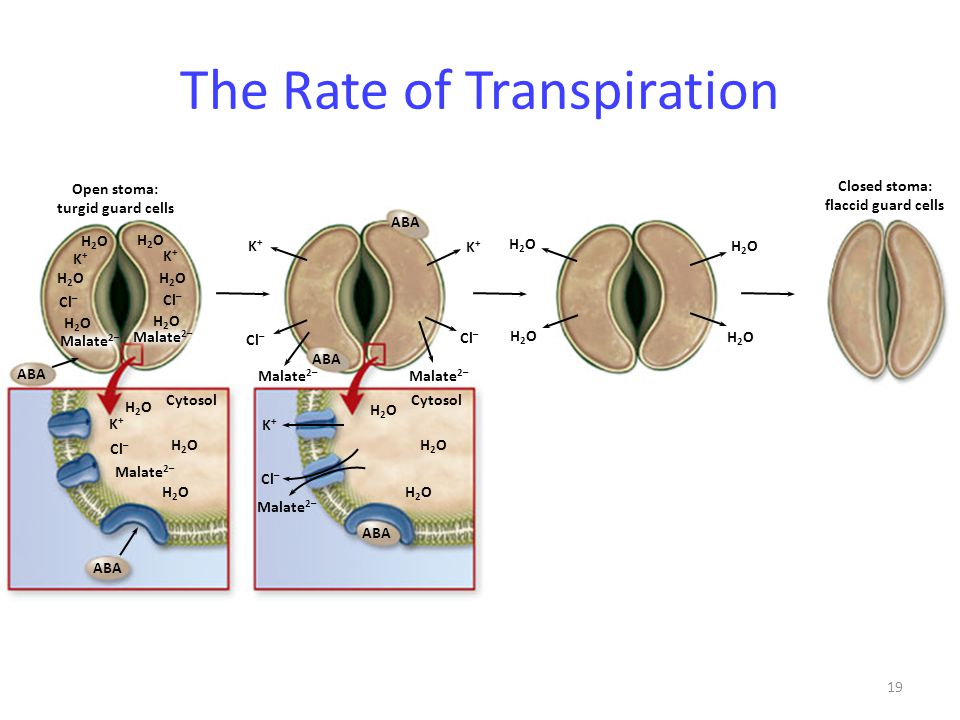 19 The Rate of Transpiration Closed stoma: flaccid guard cells Open stoma: turgid guard cells Cytosol ABA H2OH2O H2OH2O H2OH2O K+K+ Cl – Malate 2– H2O