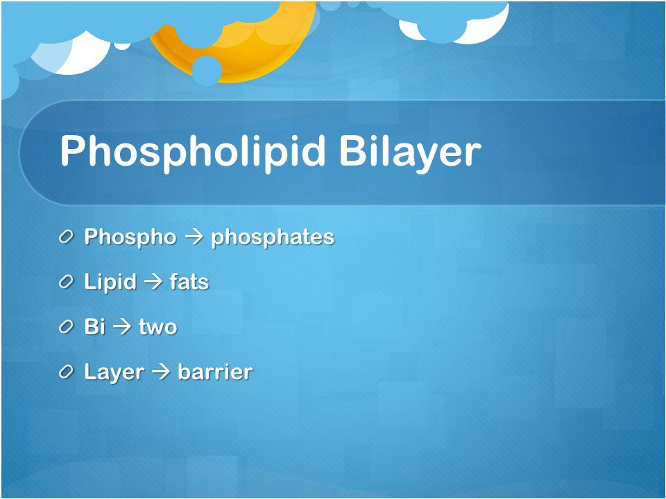 Phospholipid Bilayer Phospho  phosphates Lipid  fats Bi  two Layer  barrier