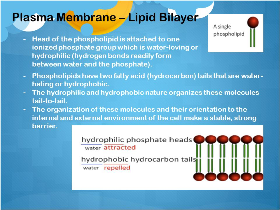 -Head of the phospholipid is attached to one ionized phosphate group which is water-loving or hydrophilic (hydrogen bonds readily form between water and the phosphate).