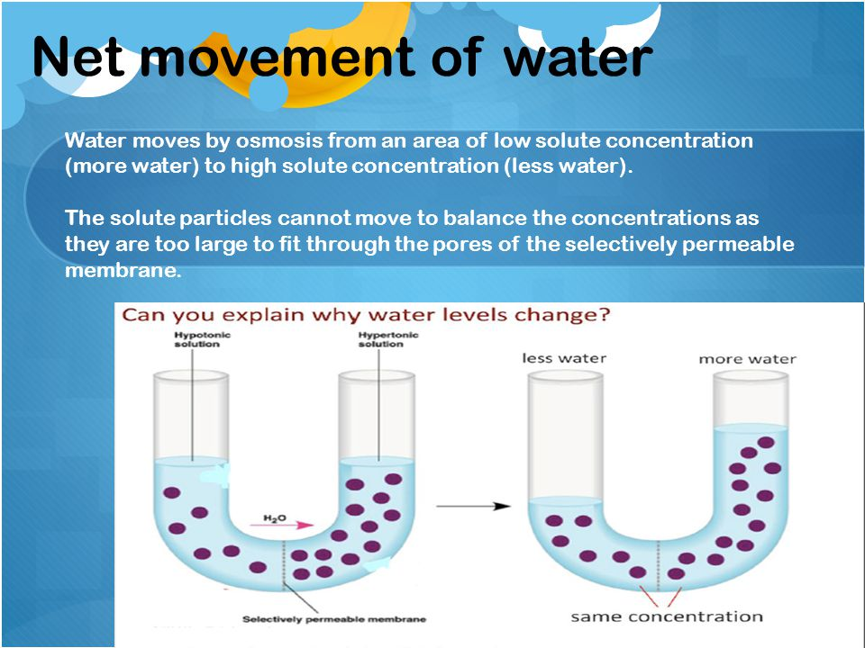Net movement of water Water moves by osmosis from an area of low solute concentration (more water) to high solute concentration (less water).
