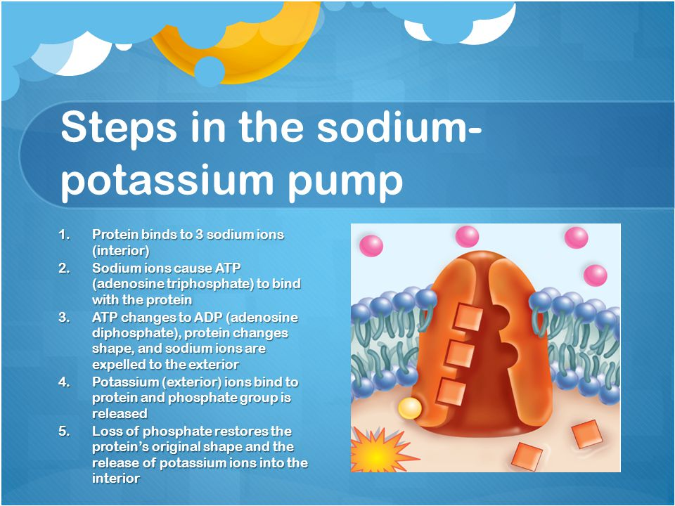 Steps in the sodium- potassium pump 1.Protein binds to 3 sodium ions (interior) 2.Sodium ions cause ATP (adenosine triphosphate) to bind with the prot