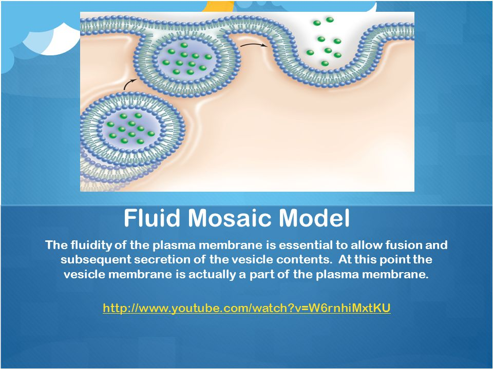 The fluidity of the plasma membrane is essential to allow fusion and subsequent secretion of the vesicle contents. At this point the vesicle membrane
