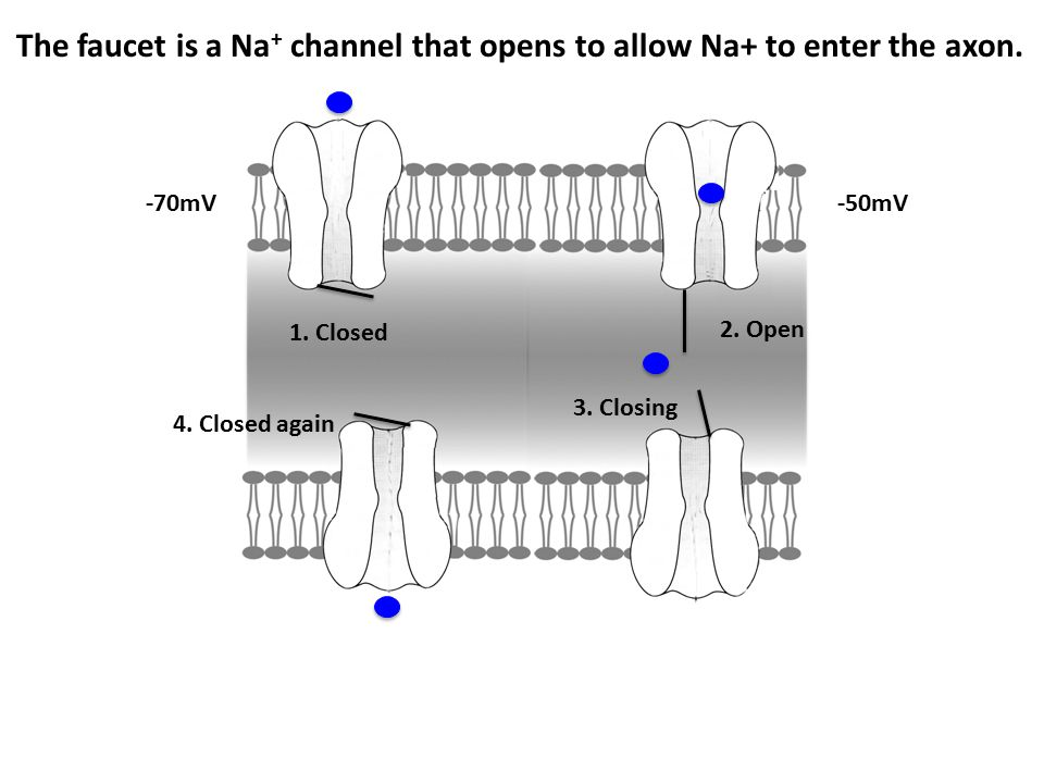 -70mV The faucet is a Na + channel that opens to allow Na+ to enter the axon. 1. Closed 2. Open 3. Closing 4. Closed again -50mV