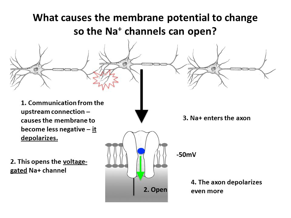 1. Communication from the upstream connection – causes the membrane to become less negative – it depolarizes. 2. This opens the voltage- gated Na+ cha