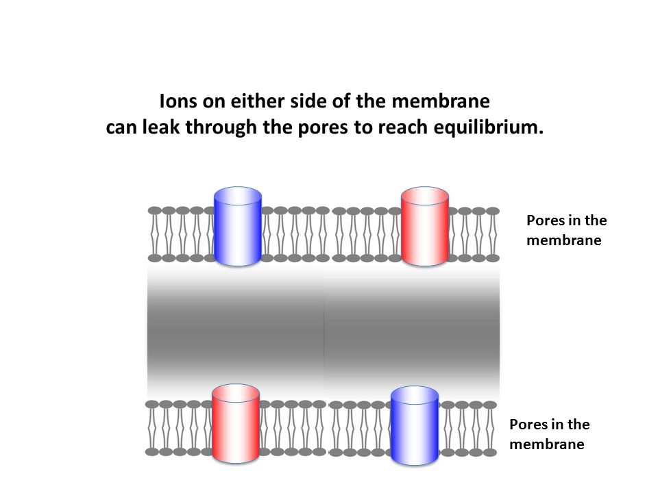 Pores in the membrane Pores in the membrane Ions on either side of the membrane can leak through the pores to reach equilibrium.