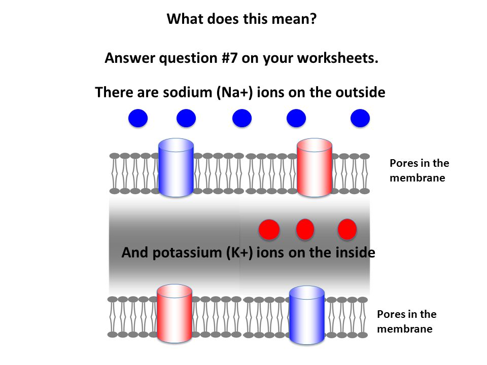 Pores in the membrane Pores in the membrane There are sodium (Na+) ions on the outside And potassium (K+) ions on the inside What does this mean? Answ