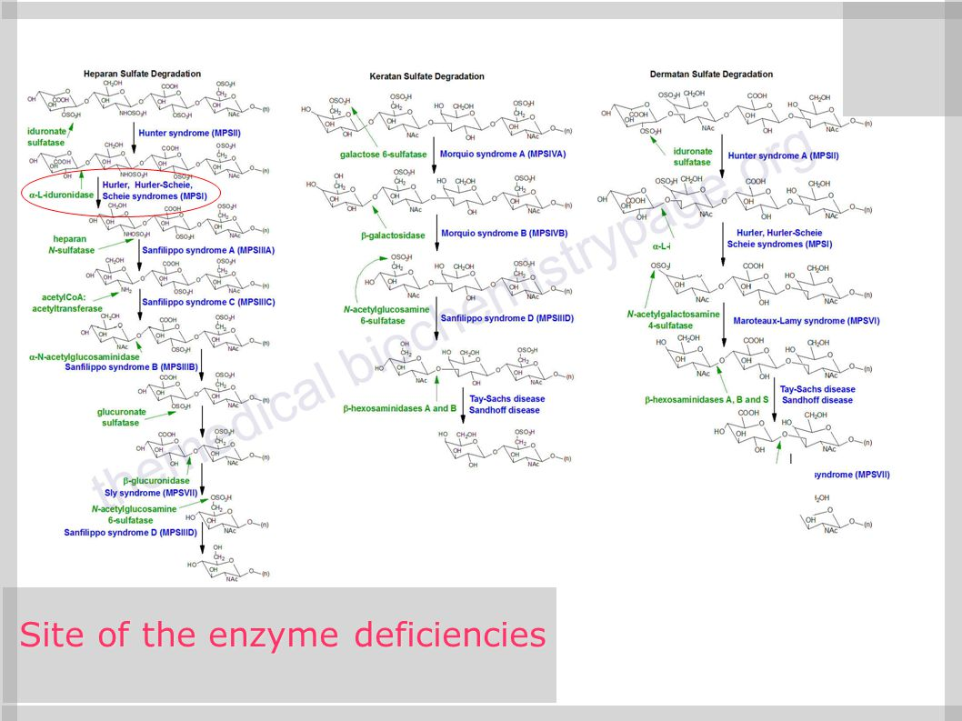 Site of the enzyme deficiencies