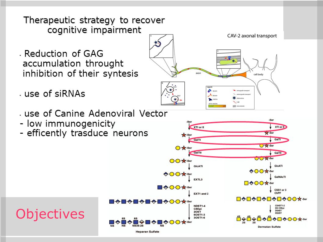 Objectives Therapeutic strategy to recover cognitive impairment Reduction of GAG Reduction of GAG accumulation throught accumulation throught inhibiti