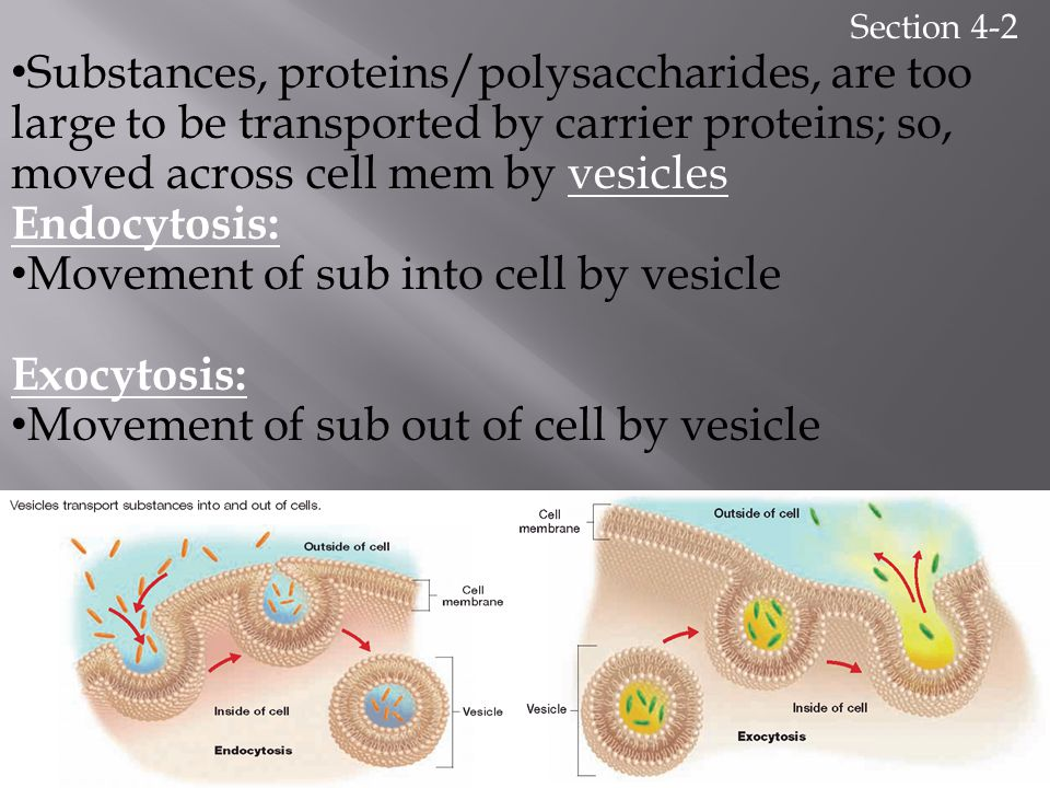 Section 4-2 Substances, proteins/polysaccharides, are too large to be transported by carrier proteins; so, moved across cell mem by vesicles Endocytos