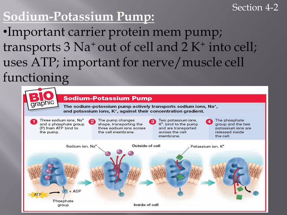 Section 4-2 Sodium-Potassium Pump: Important carrier protein mem pump; transports 3 Na + out of cell and 2 K + into cell; uses ATP; important for nerv