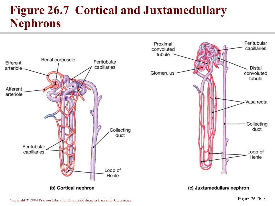 Copyright © 2004 Pearson Education, Inc., publishing as Benjamin Cummings Figure 26.7b, c Figure 26.7 Cortical and Juxtamedullary Nephrons