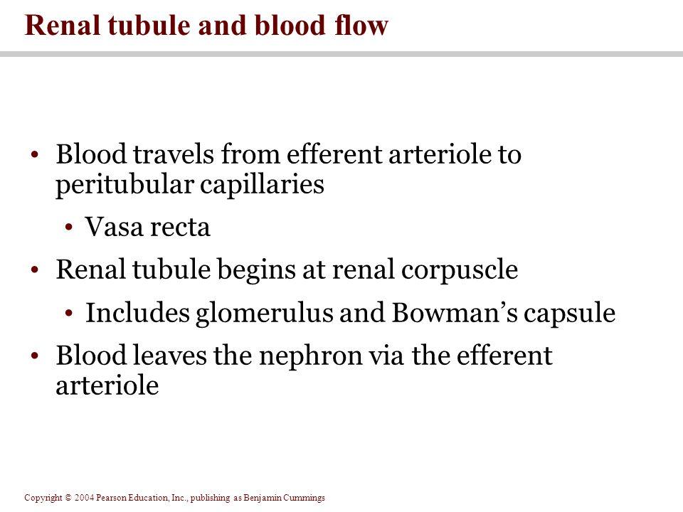 Copyright © 2004 Pearson Education, Inc., publishing as Benjamin Cummings Blood travels from efferent arteriole to peritubular capillaries Vasa recta