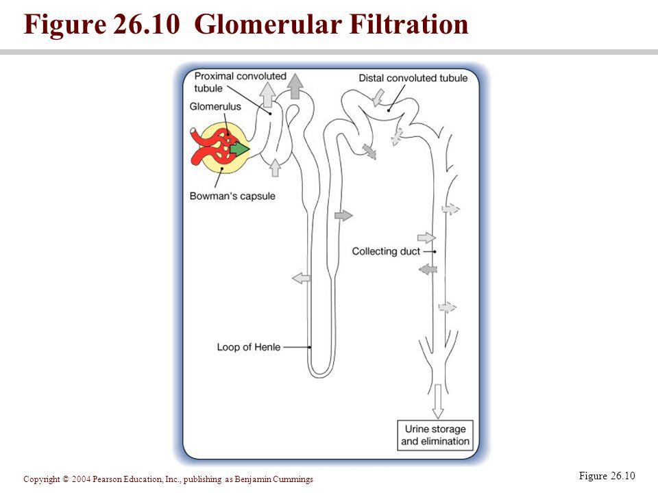Copyright © 2004 Pearson Education, Inc., publishing as Benjamin Cummings Figure 26.10 Glomerular Filtration Figure 26.10