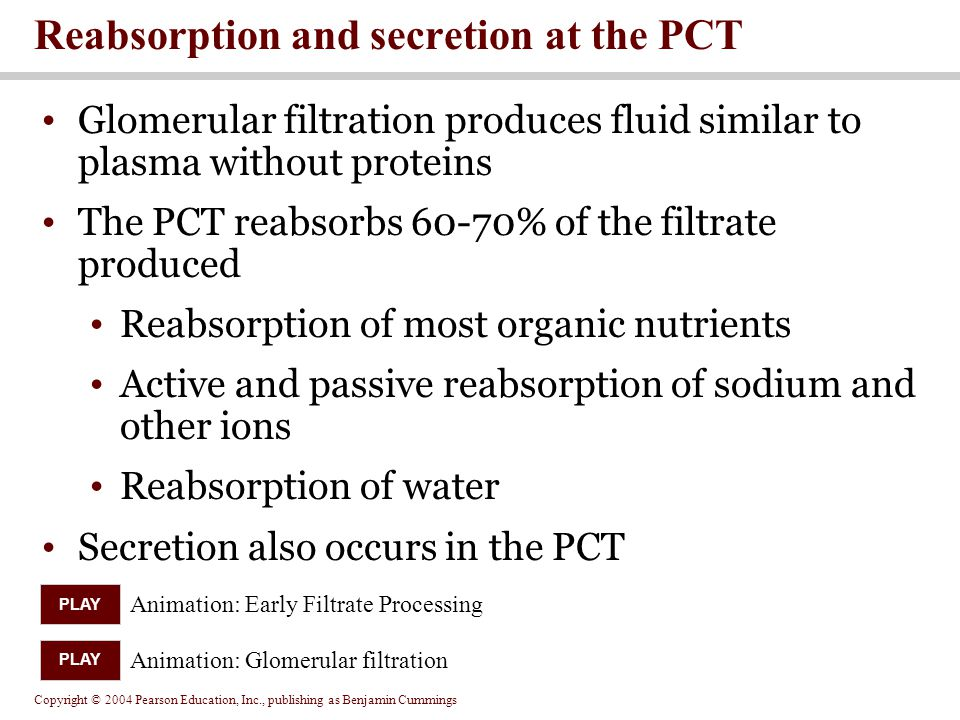 Copyright © 2004 Pearson Education, Inc., publishing as Benjamin Cummings Glomerular filtration produces fluid similar to plasma without proteins The PCT reabsorbs 60-70% of the filtrate produced Reabsorption of most organic nutrients Active and passive reabsorption of sodium and other ions Reabsorption of water Secretion also occurs in the PCT Reabsorption and secretion at the PCT Animation: Early Filtrate Processing PLAY Animation: Glomerular filtration PLAY
