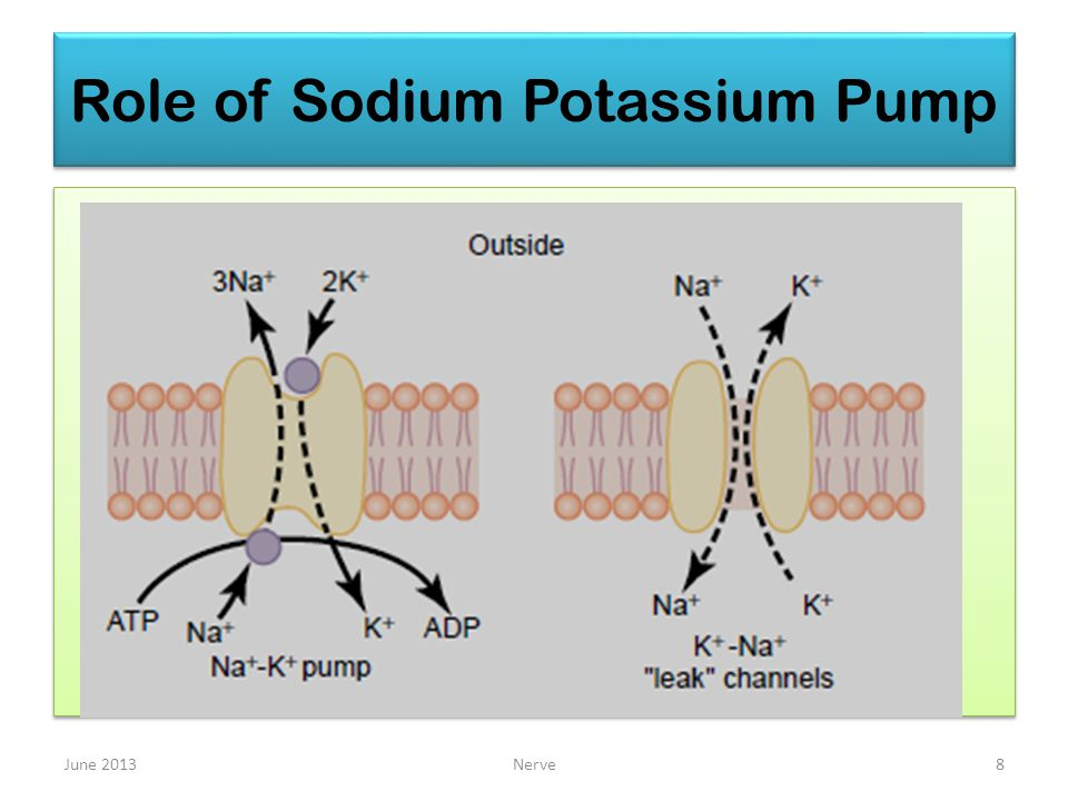Role of Sodium Potassium Pump June 2013Nerve8