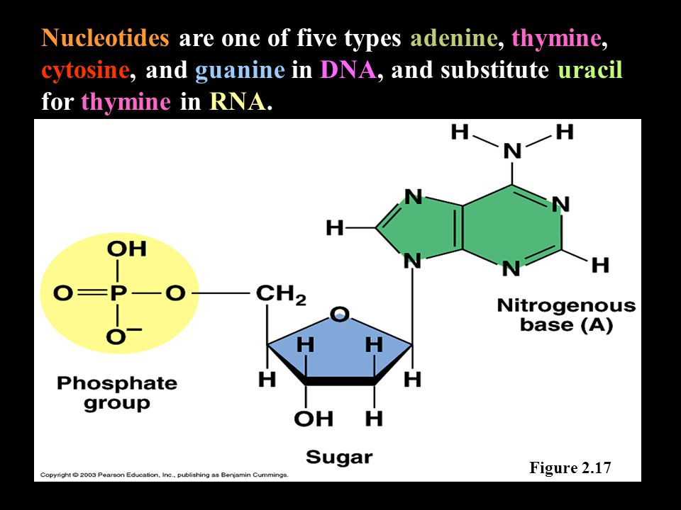 Nucleotides are one of five types adenine, thymine, cytosine, and guanine in DNA, and substitute uracil for thymine in RNA.