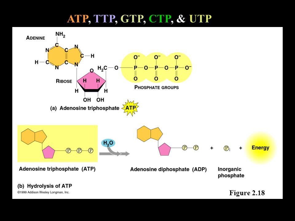 ATP, TTP, GTP, CTP, & UTP Figure 2.18