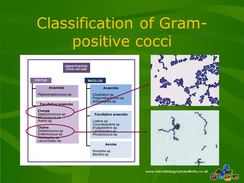www.microbiologynutsandbolts.co.uk Classification of Gram- positive cocci