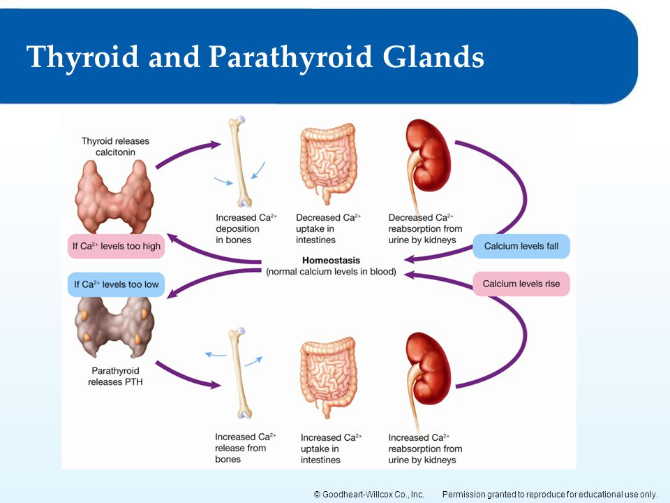Permission granted to reproduce for educational use only.© Goodheart-Willcox Co., Inc. Thyroid and Parathyroid Glands