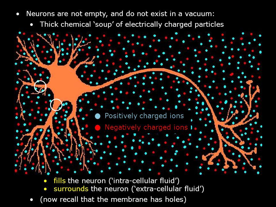 Neurons are not empty, and do not exist in a vacuum: Thick chemical 'soup' of electrically charged particles fills the neuron ('intra-cellular fluid') surrounds the neuron ('extra-cellular fluid') (now recall that the membrane has holes) Positively charged ions Negatively charged ions