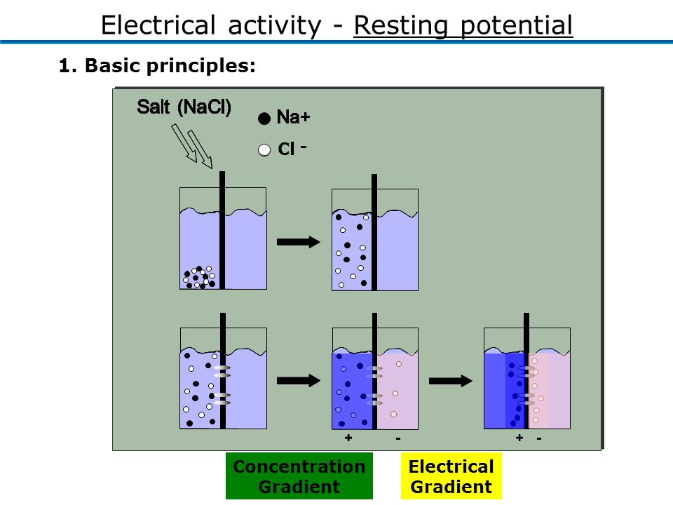 1. Basic principles: Electrical activity - Resting potential Concentration Gradient Electrical Gradient Cl