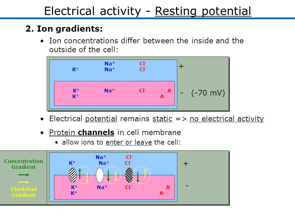 K + Na + Cl - A - K + A - + - Na + Cl - K + Na + Cl - Concentration Gradient Electrical Gradient Protein channels in cell membrane allow ions to enter or leave the cell: Electrical potential remains static => no electrical activity 2.